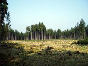 Zalesněná kalamitní plocha pod Jezevčím vrchem (Jemčina)
