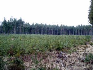 Zalesněná kalamitní plocha po sněhové kalamitě 2006 (Jemčina)