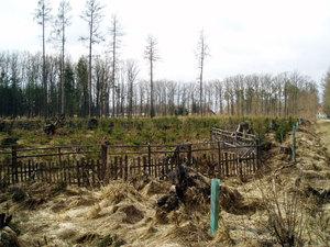 Zalesněná kalamitní plocha po vichřici Kyrill 2007 (Jemčina)